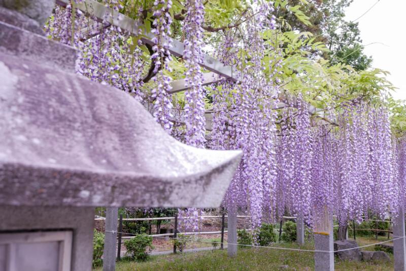 三大神社藤の花