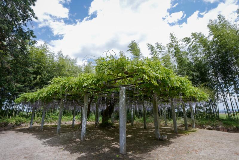 志那神社の藤棚