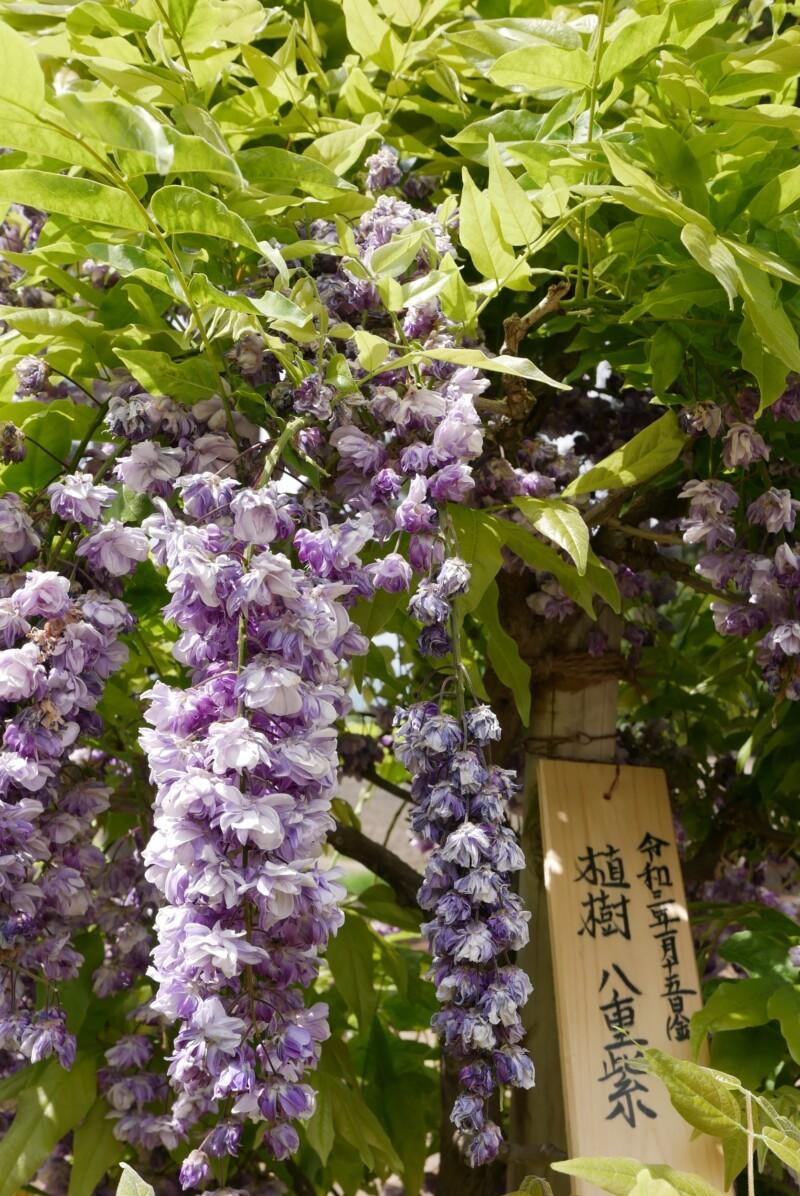 志那神社の八重紫