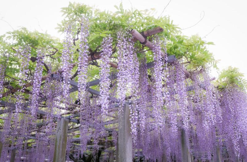 惣社神社の藤棚